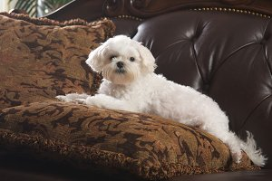 Maltese Puppy Relaxing