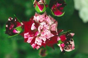 Beautiful gradient color rose flower