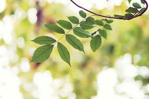 Wisteria leafs.
