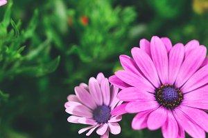 Beautiful pink summer flowers
