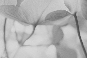 Grey noise Hydrangea.