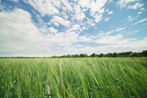 field winter wheat green