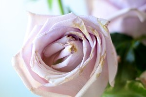 Jumbo Roses 4