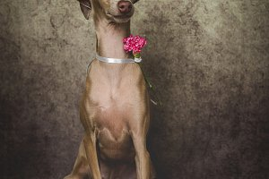 Italian greyhound dog in studio