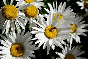Daisies and insect close up