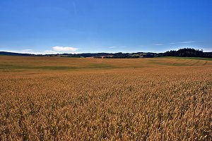 Wheat field before harvest