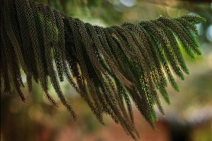 the Indian branch of a fir tree