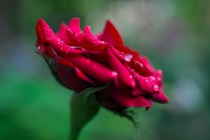 wet red rose after rain