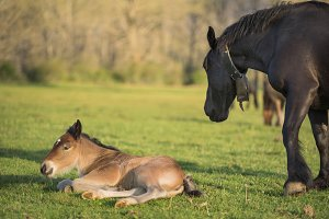 Mare and foal lying on the meadow