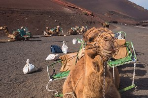 Camels resting in volcanic landscape