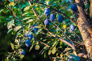 Plum tree with juicy fruits on sunse