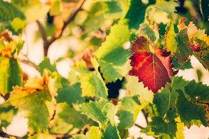 Fresh Green grapes vine on bokeh bac