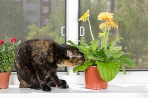 Cat sniffs gerbera flower