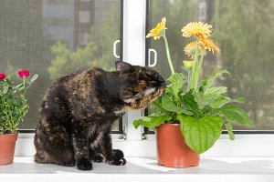 Cat eat gerbera flower
