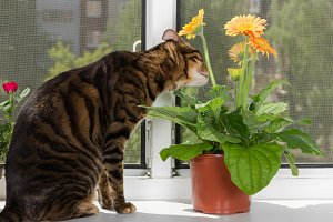 Cat breed toyger sits on window sill