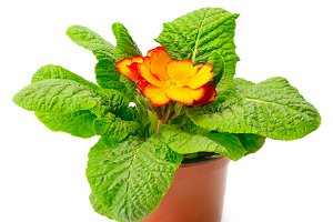 Yellow primrose in flowerpot