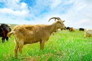 Flock domestic goats grazing on past