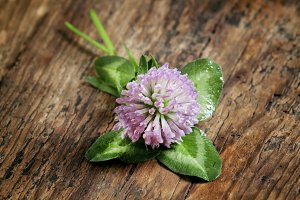 Flower purple clover, shamrock with