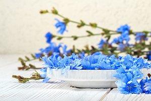 Chicory (Cichorium intybus) flower