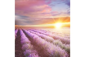 Sunset over a violet lavender field.
