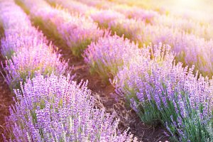 Lavender bushes closeup.