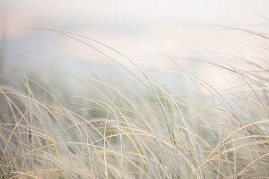 Stock Photo - Beach Grass