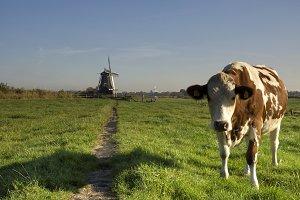 Cow in a meadow near Westzaan