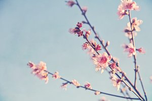 Stock Photo - Pink Spring Blossom