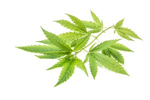 Hemp Cannabis Marijuana Green leaves