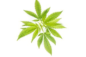 Hemp leaves white background Cannabi