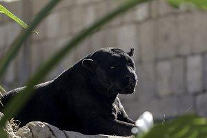 black panther lying