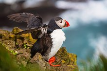 Single atlantic puffin by  in Animals