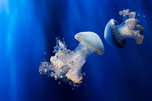 White spotted jellyfishes underwater