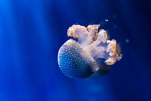 White spotted jellyfish underwater.