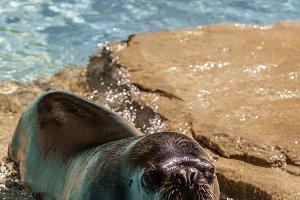 sea lion lying
