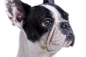 white and black french bulldog