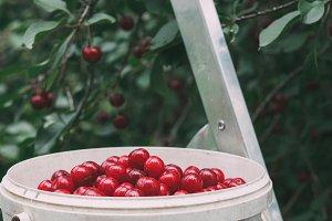 Harvesting cherries in the garden