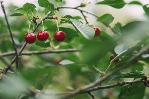 Cherry branch in the garden