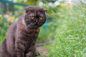 Cute fluffy Scottish fold cat smoky