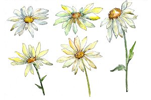 Fine wildflower daisy PNG watercolor