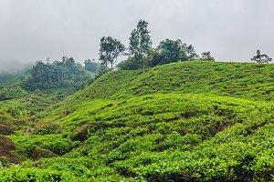 BANNER Amazing landscape view of tea