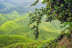 Amazing landscape view of tea