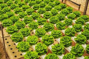 Fresh lettuce leaves, close up