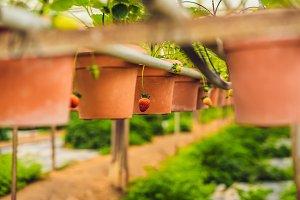 fresh organic strawberries growing