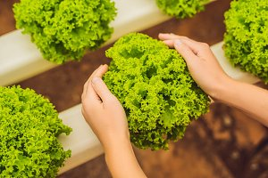 Salad in caring hands. Hydroponic