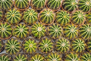 Cactus background pattern. Small
