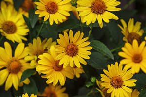 Thymophyllia,yellow flowers, natural