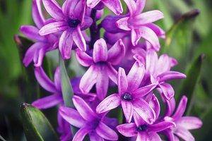 Blooming purple hyacinth, toned imag