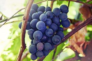 Ripening grapes on the vine, vineyar