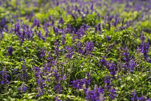 Lavender flowers at sunlight in a